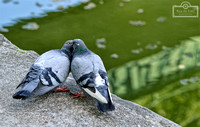#Pigeons, #Paris, #CanalSaintMartin, #France, #Travel, #Pombos, #Aves, #FrenchKiss